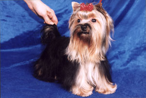 "yorkshire terriers /  ""Lialia"" / питомник  ""MON BIJOU"" / 12 monthes, weight - 1,700 kg"