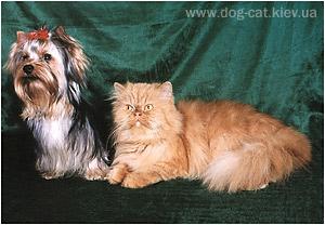 """yorkshire terriers /   Basya & Enichka  / питомник  """"MON BIJOU"""" / 7 monthes, weight - 2,300 kg"""
