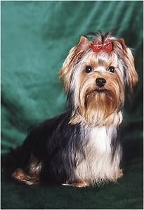 "yorkshire terriers /   Basya  / питомник  ""MON BIJOU"" / 7 monthes, weight - 2,300 kg"