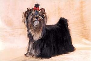 "yorkshire terriers /  Dolly / питомник  ""MON BIJOU"" / 14 monthes, weight - 1,900 kg"